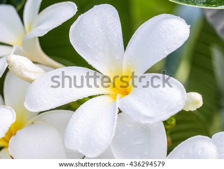 Macro image, white plumeria (frangipani) with water droplets, in soft blurred style for a background.