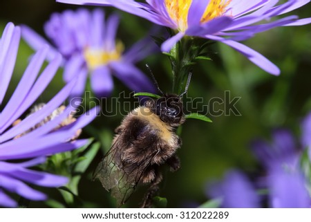 Macro insect bumble bee collecting pollen on a flower ( selective focus) - stock photo