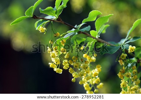 macro isolated blossoming branch of barberry in the garden on a sunny day - stock photo
