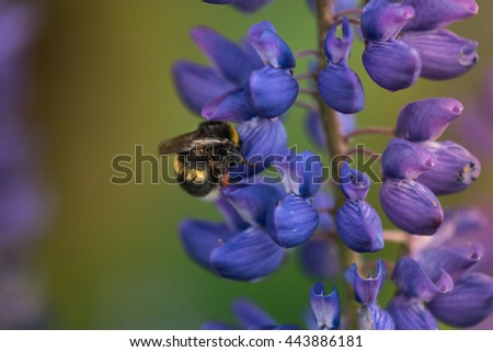 Macro Lupine Flower And Flying Bumblebee. Shallow DOF. Blurry Background.  - stock photo
