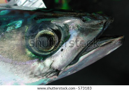 Macro mackerel head