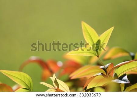 Macro Nandina Leaves - stock photo