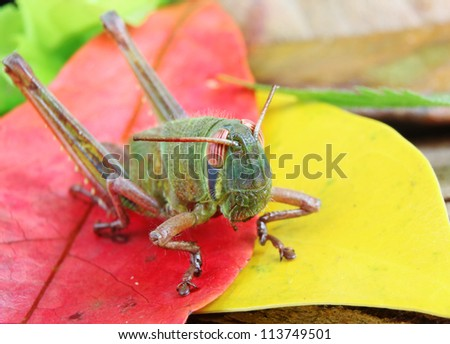 Macro of a Beautiful Green Grasshopper on Red and Yellow Autumn Leaves