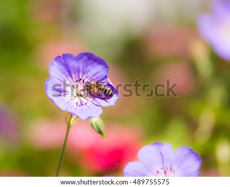 Macro of a bee on a geranium flower blossom