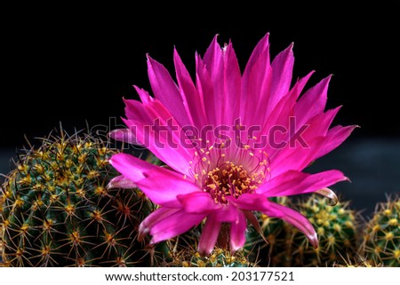 Macro of a blooming Lobivia winteriana in front of a black background. Purple Cactus flower - stock photo