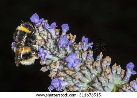 Macro of a Bumble Bee (Bombus terrestris) feeding on a Lavender flower against a dark background - stock photo