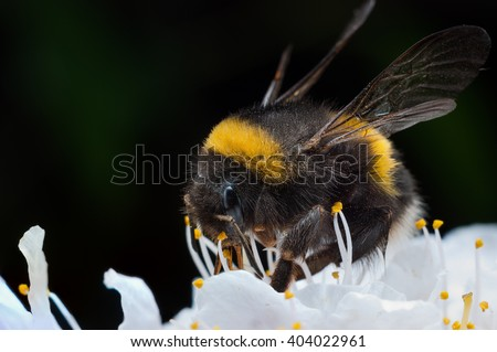 Macro of a bumblebee collecting nectar on flower. - stock photo