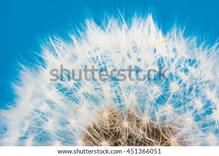 Macro of a dandelion flower seeds blowball