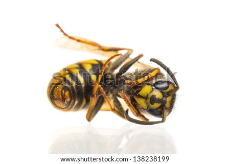Macro of a dead wasp (Vespula vulgaris), isolated on white - stock photo