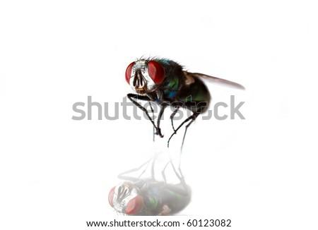 macro of a fly - stock photo