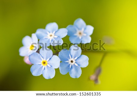 Macro of a forget-me-not flowers - stock photo