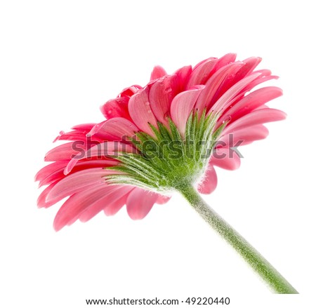 macro of a gerber daisy with water droplets on the petals with space for your text - stock photo