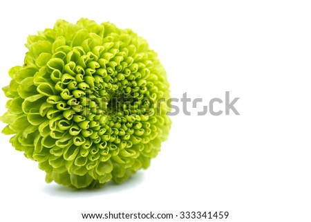 Macro of a green chrysanthemum isolated on white background. - stock photo