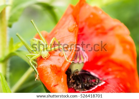 Macro of a green grasshopper sitting on a red poppy flower