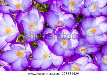 Macro of a group of purple crocus blossoms - stock photo