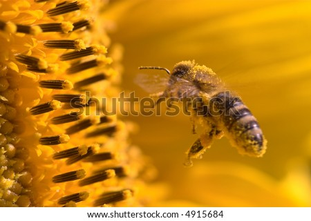 Macro of a honeybee in a sunflower. The bee is full of pollen from the flower.
