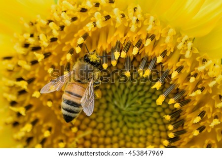 Macro of a honeybee in a sunflower. The bee is full of yellow pollen from the flower - stock photo