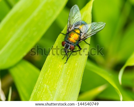 Macro of a housefly on a blade of grass.