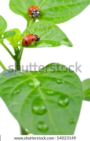 Macro of a ladybug sitting on leaf, isolated on white background - stock photo