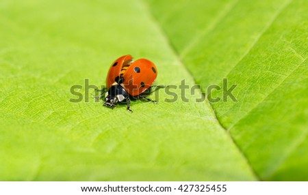 Macro of a ladybug with wing covers opened on a green leaf