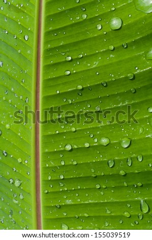 Macro of a leaf from a banana tree - stock photo