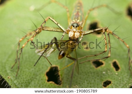 Macro of a long jawed spider (Tetragnathidae) with a prey  - stock photo
