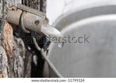 Macro of a maple sap tap and drop. - stock photo