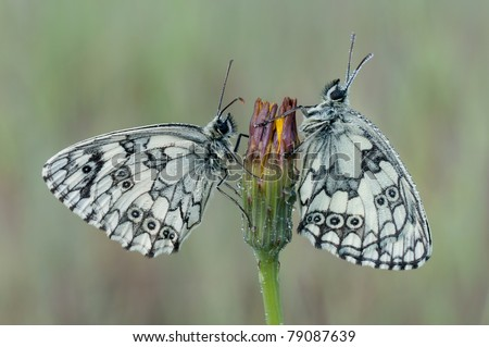 macro of a Marbled White butterfly - stock photo