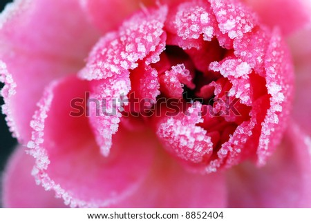 Macro of a pink rose covered by morning frost - stock photo
