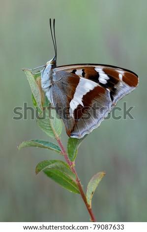 macro of a Purple Emperor butterfly - stock photo