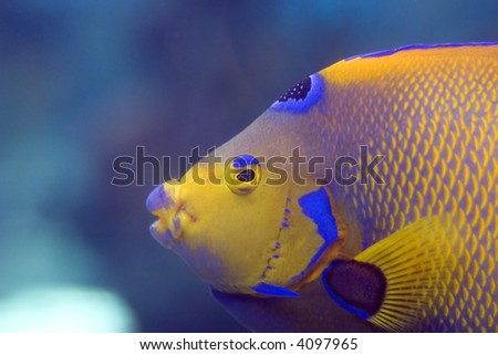 Macro of a Queen Angelfish (Holacanthus ciliaris) - stock photo