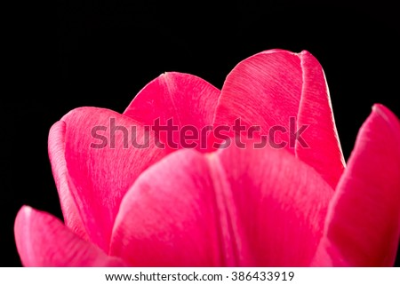 Macro of a red common tulip on white background - stock photo