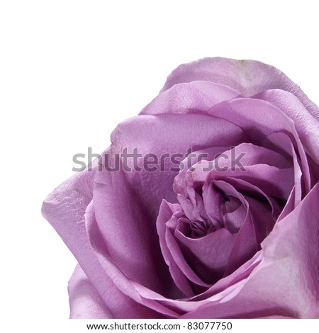 Macro of a Silver Rose on a white background - stock photo