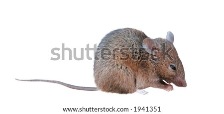 Macro of a small field mouse - isolated.