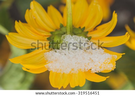 Macro of a snow on a chrysanthemum after an early autumn snow storm.
