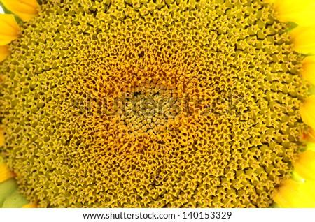 Macro of a Sunflower head - stock photo
