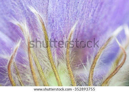Macro of a the hairs on a puple spring crocus. - stock photo