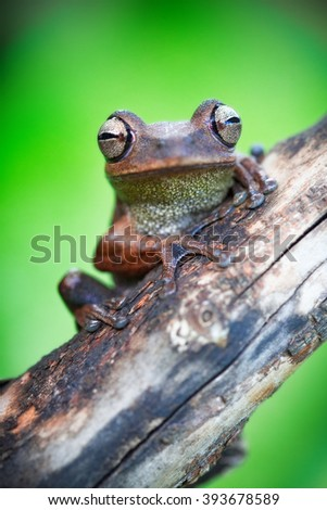 macro of a tropical Amazonian tree frog in the Amazon jungle of Bolivia. This treefrog species lives in the rain forest of Brazil, Peru Ecuador and Bolivia - stock photo