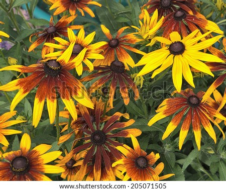 Macro of a variety of Black Eyed Susan Flower, also called Rudbekia hirta - stock photo