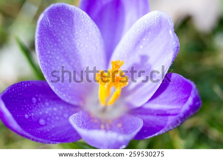 Macro of a violet crocus in early spring - stock photo