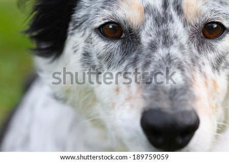 Macro of a white black ticked border collie facing camera - stock photo