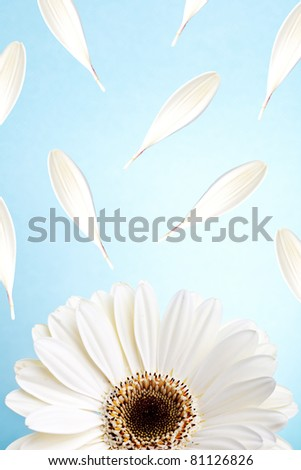 macro of a white gerber daisy with fluttering petals