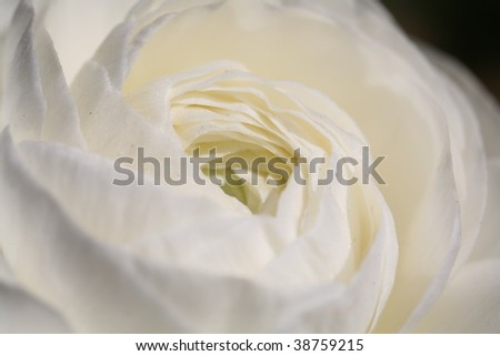 Macro of a white rose - stock photo