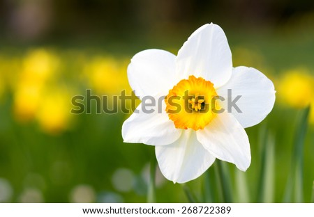 Macro of a white yellow Poet's Daffodil in spring, Germany - stock photo