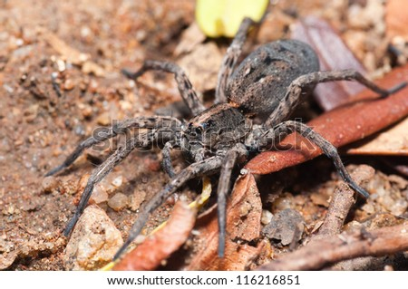 Macro of a wolf spider walking across dry vegatation with gravel background