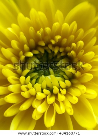 Macro of a yellow chrysanthemum
