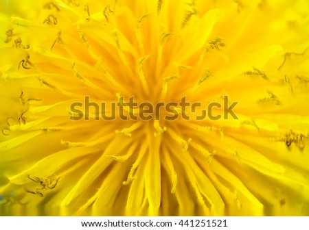Macro of a yellow dandelion flower blossom - stock photo