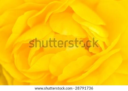 Macro of a Yellow Ranunculus Flower [Close-up Yellow Petals] - stock photo