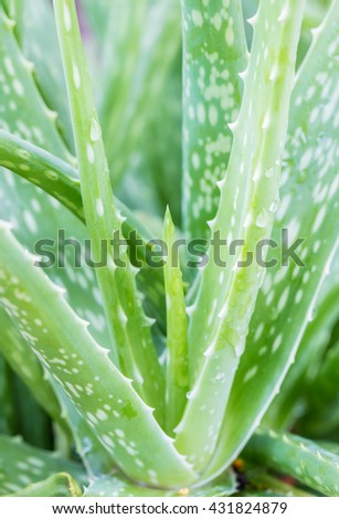 Macro of aloe leaves, selective focus point, in soft blurred style, in Thailand. - stock photo