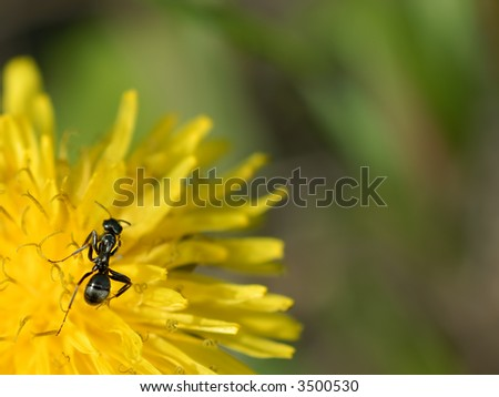 Macro of an ant on a dandelion flower.